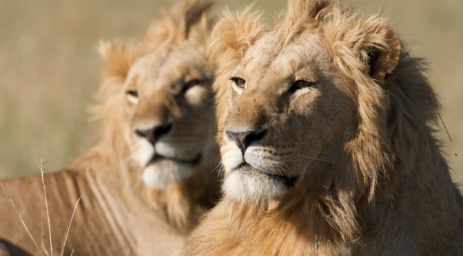 'African Cats' Is One of the Best Nature Films I've Ever Seen